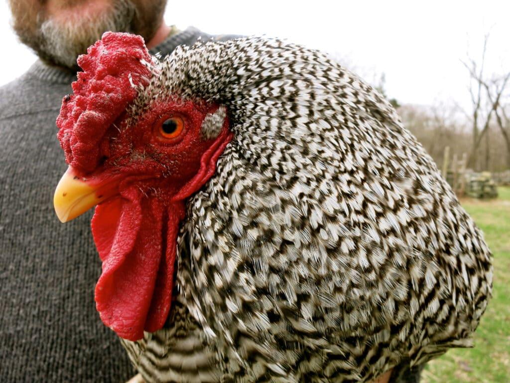 Rooster Coggeshall Farm Bristol RI