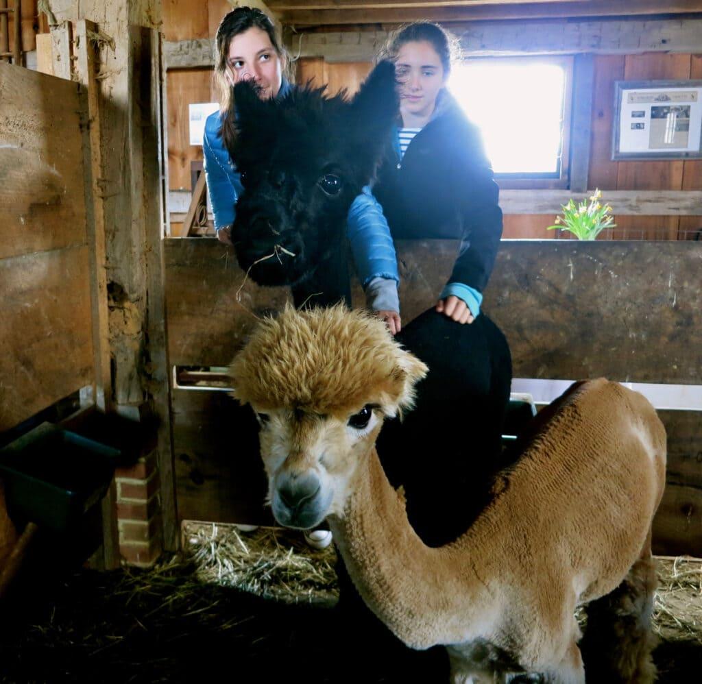 Island Alpaca Marthas Vineyard