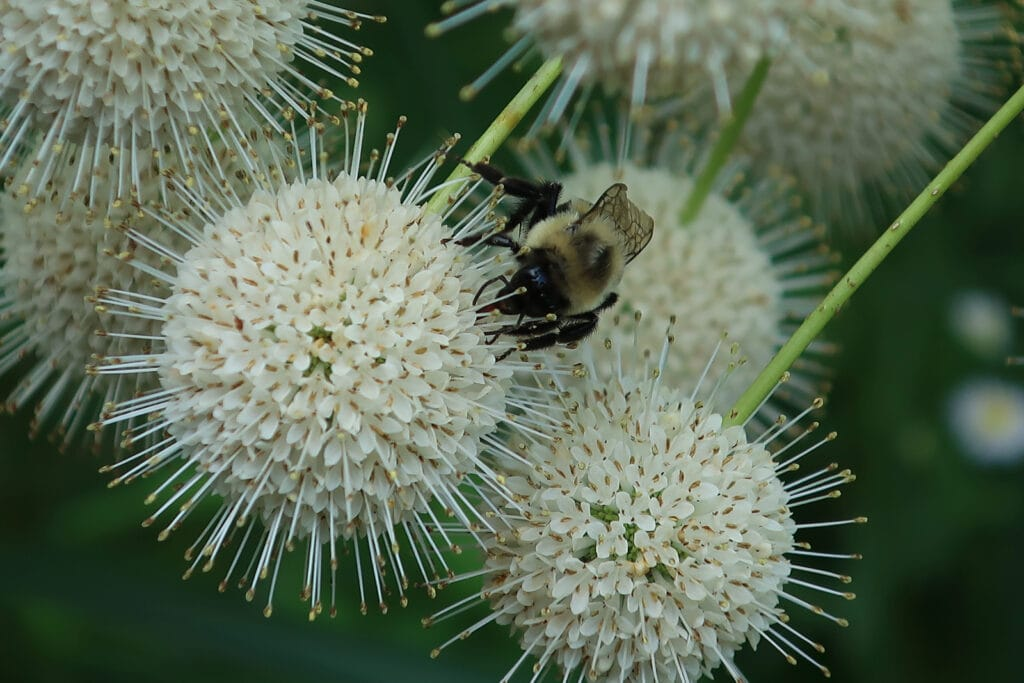 Bee at work on Buttonbush flowers