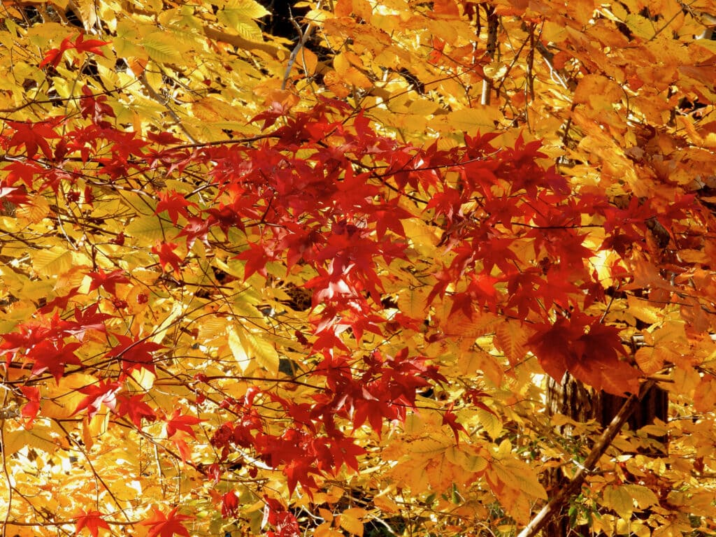 Connecticut tree in autumn, red and yellow leaves