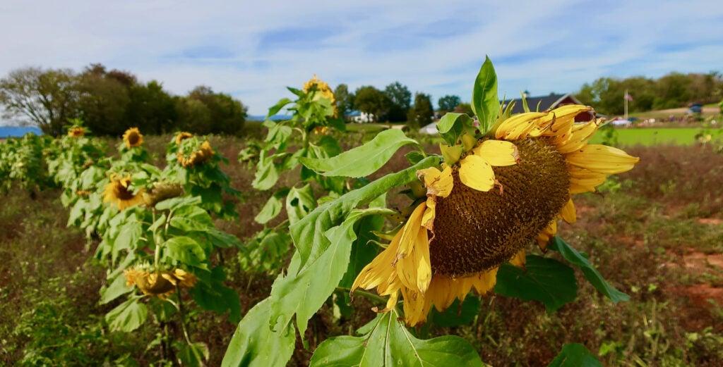 Sunflowers-Liberty-Mills-Farm-VA