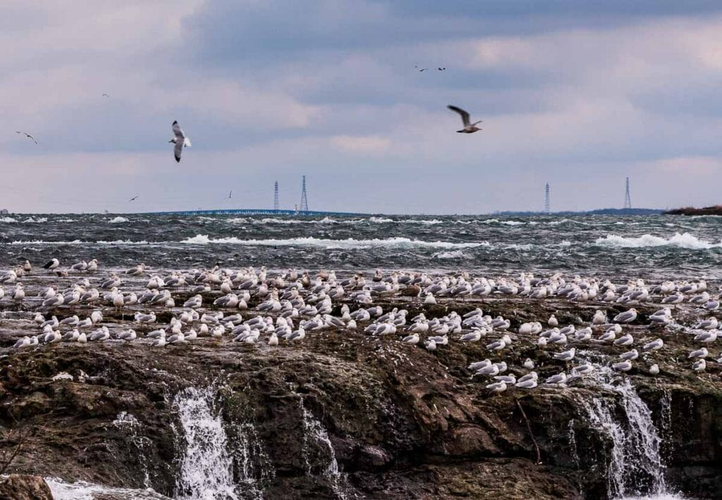 Gulls nesting on upper rapids around Three Sisters Islands in Niagara Falls State Park.