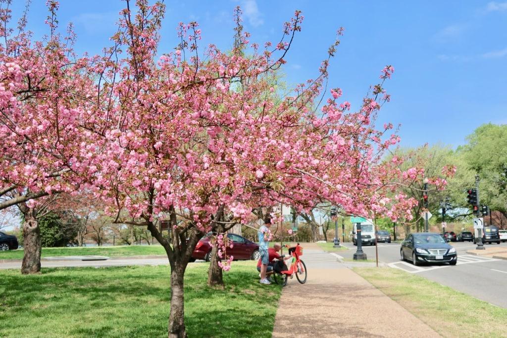 Romantic Cherry Blossom Time DC
