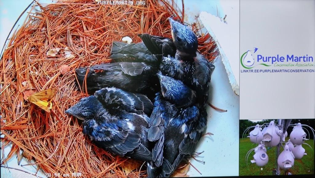 Purple Martin nest cam at Tom Ridge Environmental Center Erie PA