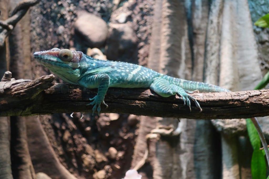 Colorful lizard at Clyde Peeling Reptiland PA