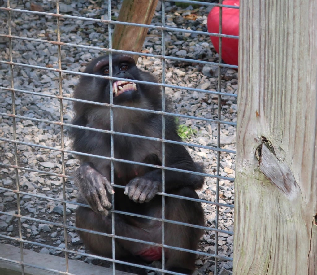 Smiling monkey at TD's Cats of the World Penns Creek PA