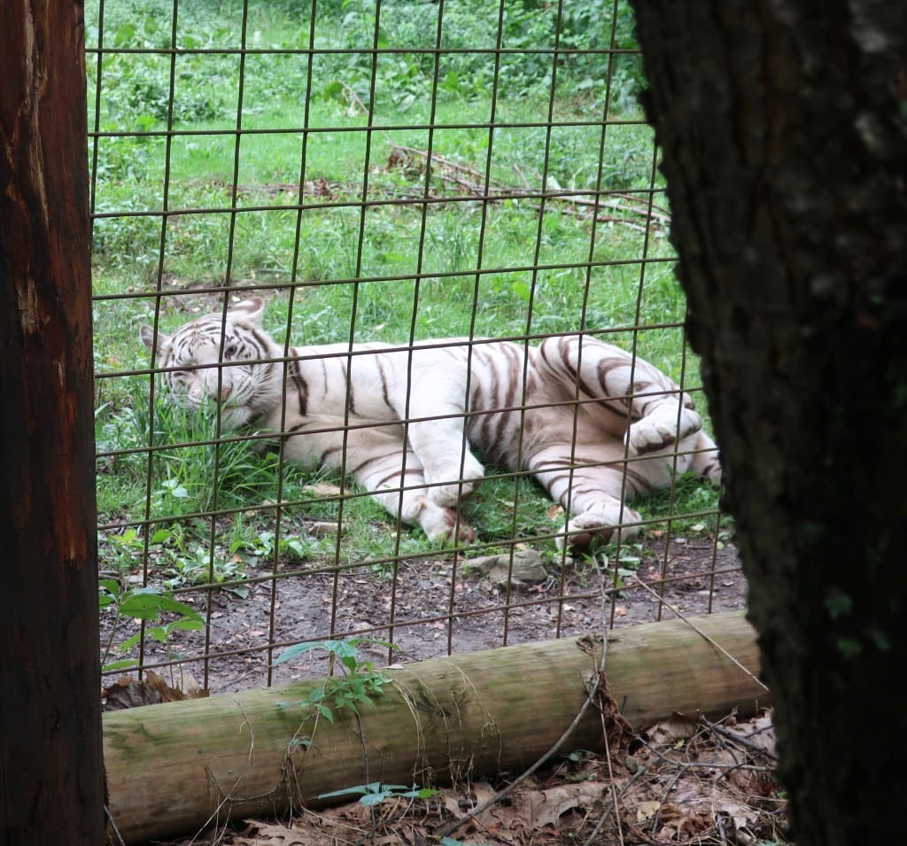 Rescued White Tiger T&D's Cats of the World
